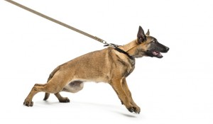 pulling dog